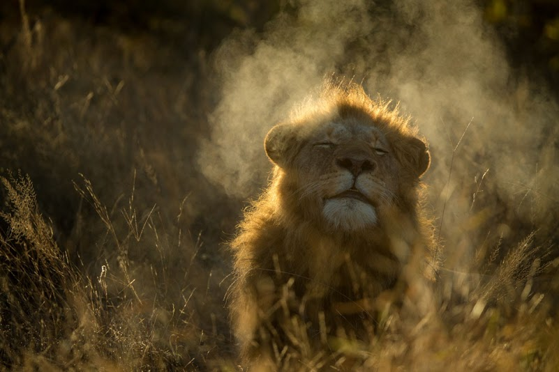 content lion