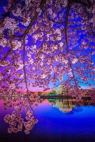 sakura lake
