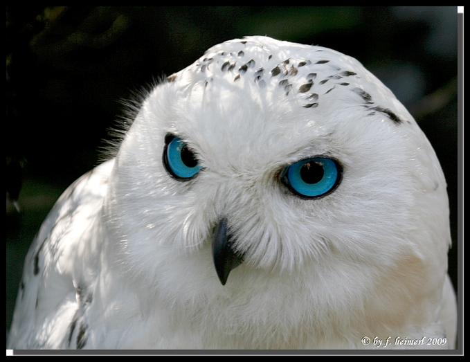 snowy-owl-blueyes