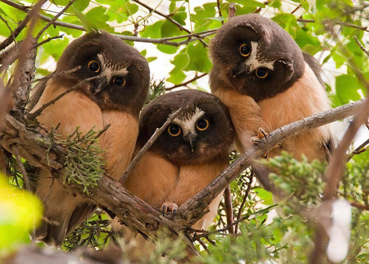 3 owl faces