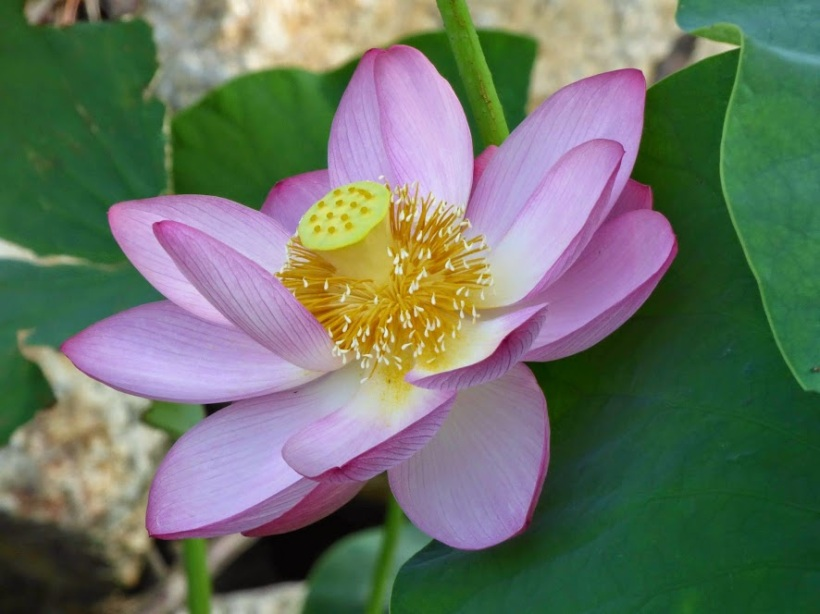 7-11 Lotus in a pond