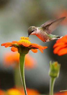 brid sucking nectar