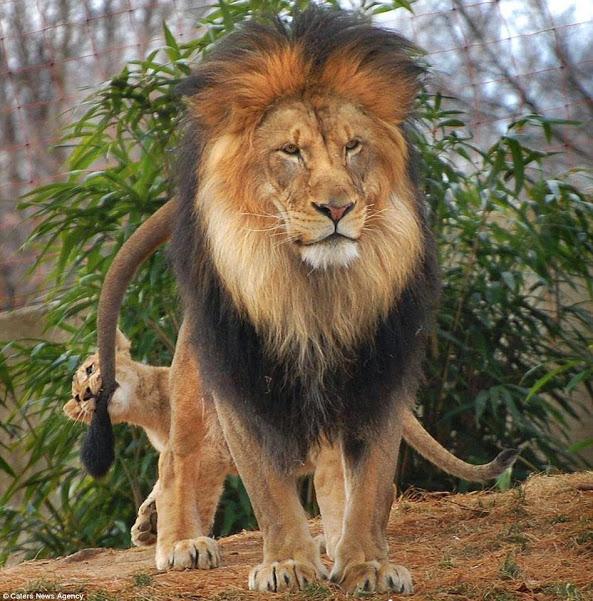 papa and cub lion