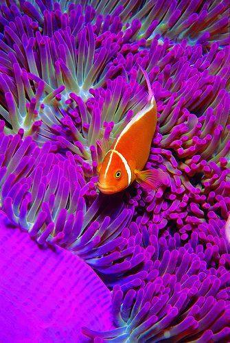 purple anenome fish