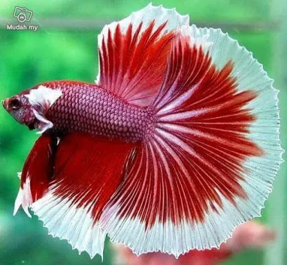 red white Beta