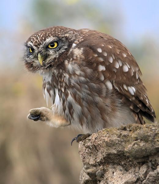 sneaky owl