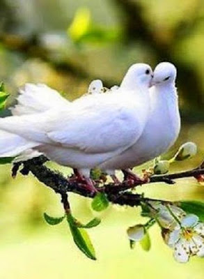 doves on a branch