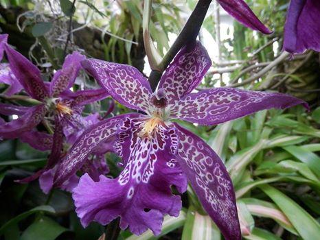 purple tiger orchid