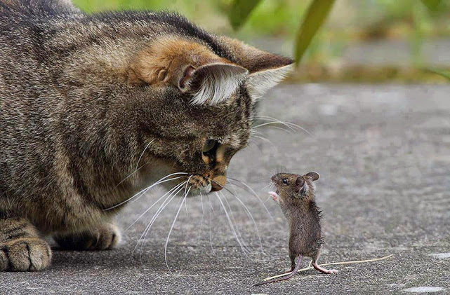 cat mouse parlay