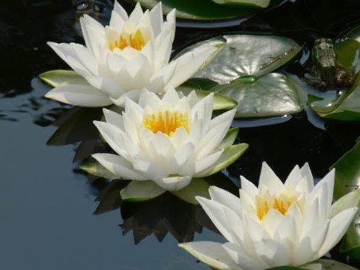 3 Lotus