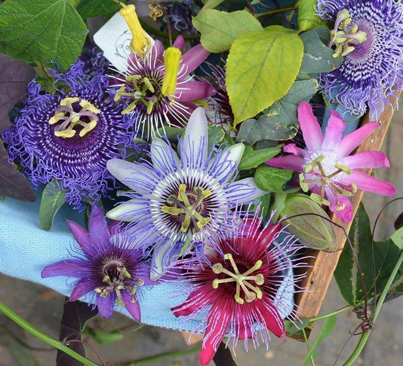Lilikoi ~ Passion Fruit Flower