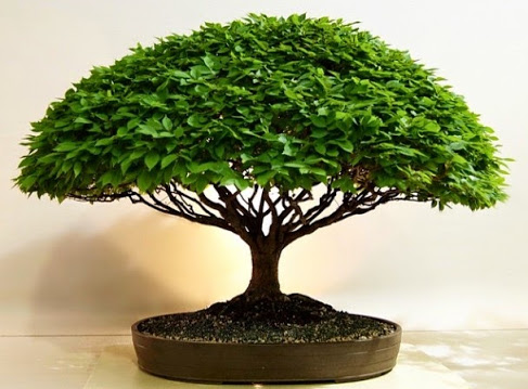 banion bonsai