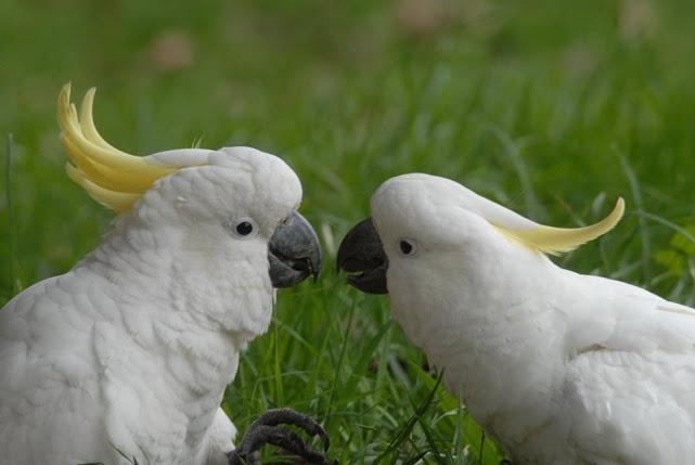 cockatoo gossip