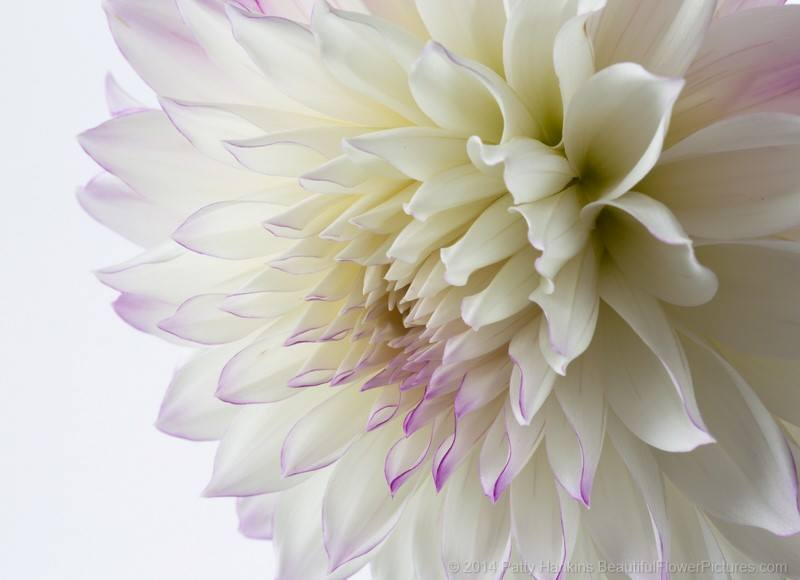 white purple dahlia