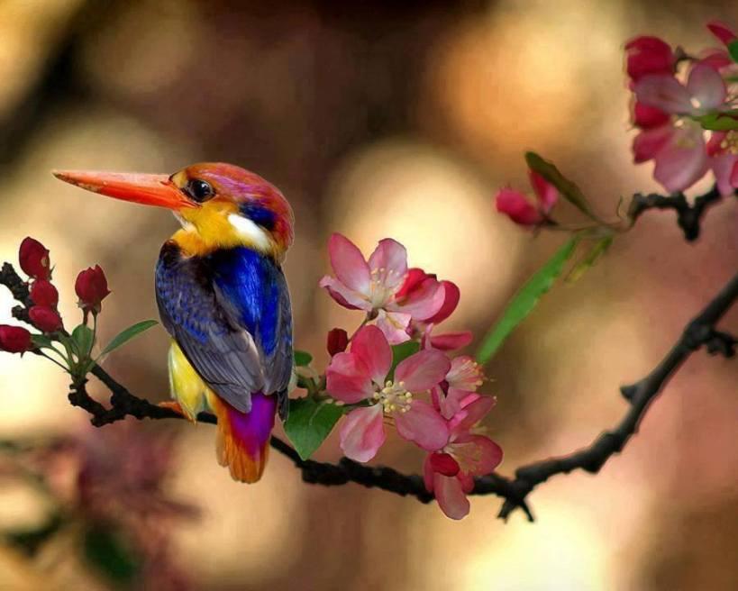 kingfisher_dwarf
