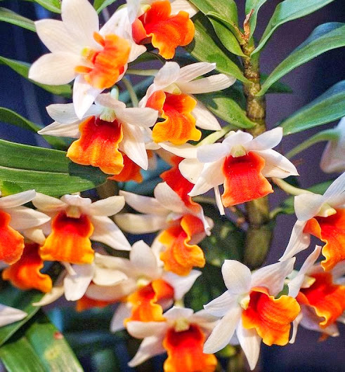 orchid_orangelips