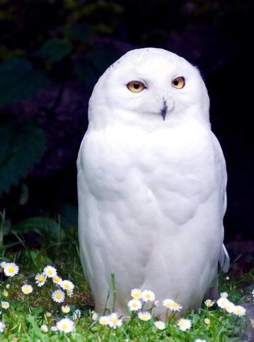 owl_snowy smirk