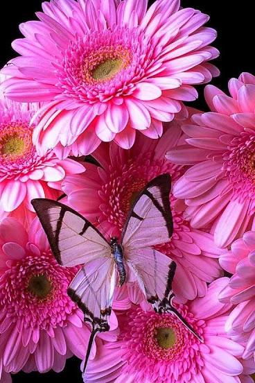 zinnias_pink_butterfly
