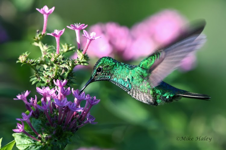 Blue-chested hummingbird (female)