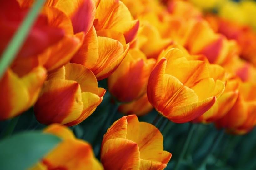 fiery tulips macro