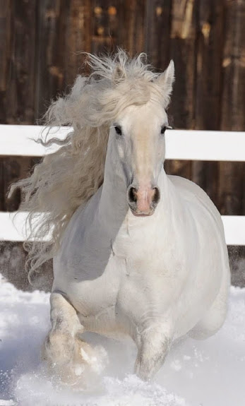 Gorgeous White Horse
