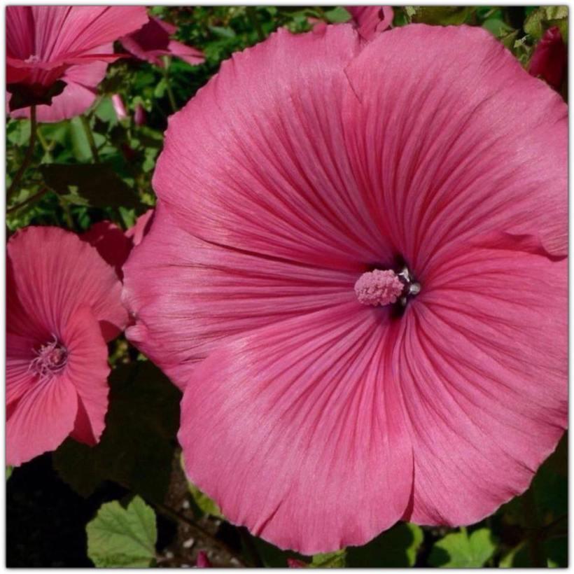 hibiscus_grandpink