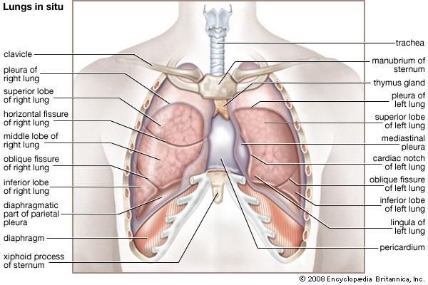lung_anatomy