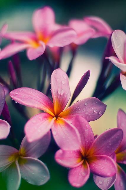 plumeria_small_violet