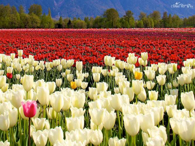 White and pink tulips Canada RSG