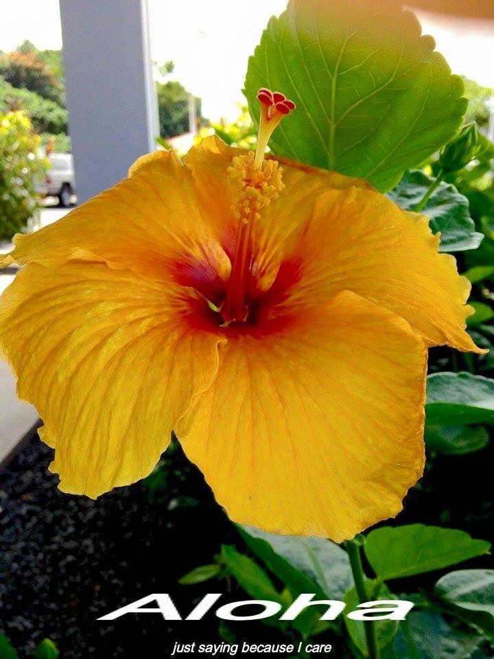 aloha_yellowhibiscus