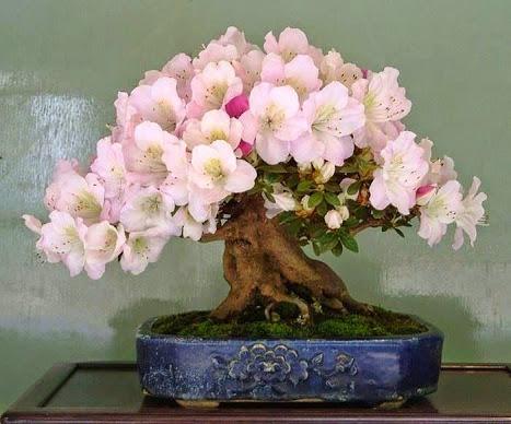 bonsai_hibiscus