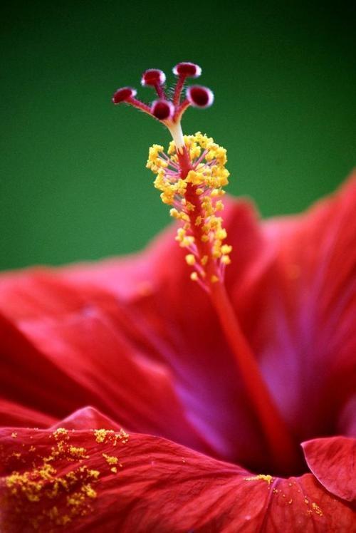 hibiscus_red macro