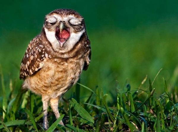 owl_yawning