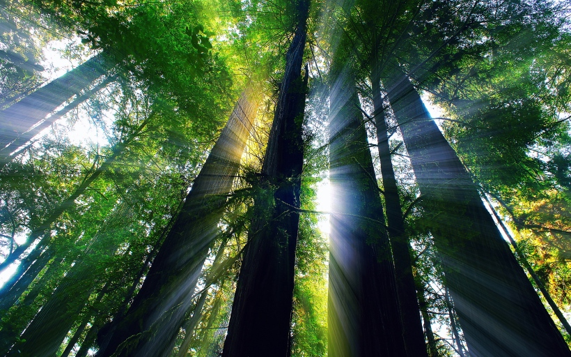 redwood-forest-california