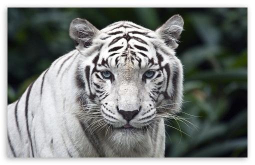 white_tiger-t2