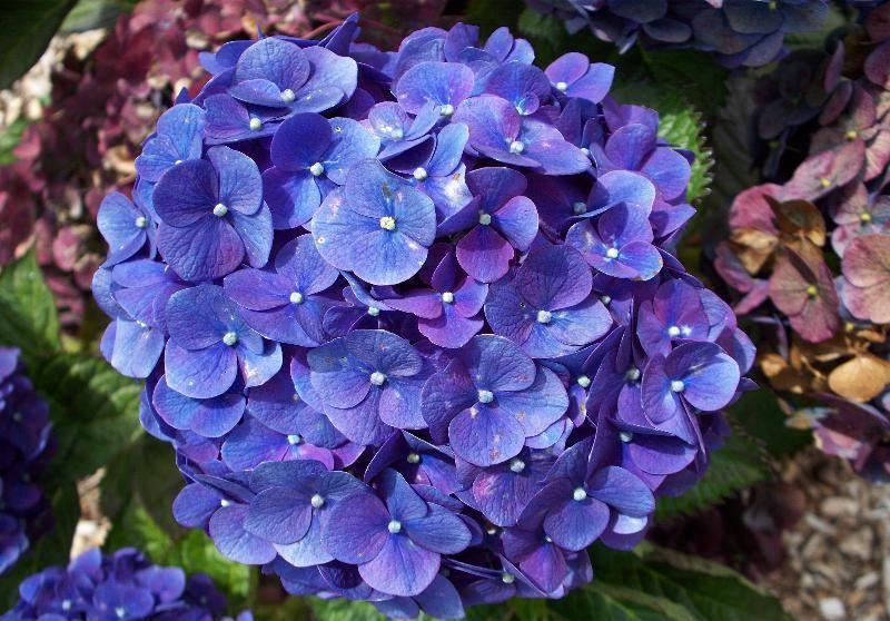 flowers_hydrangeaBLUE