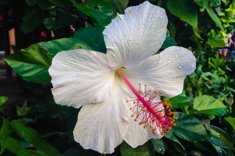 hibiscus_white-pink-large