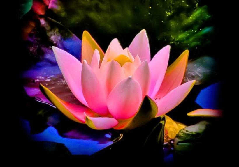 lotus_glow_pink