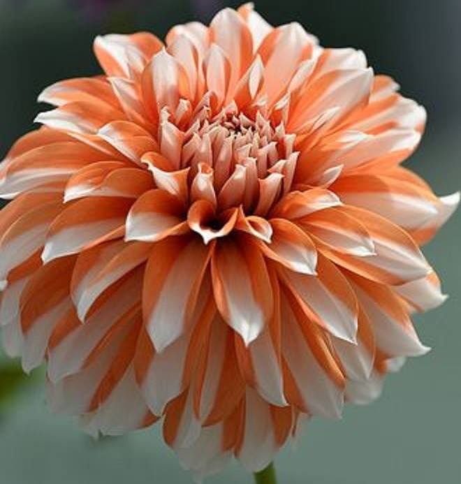flowers_dahlia_orange