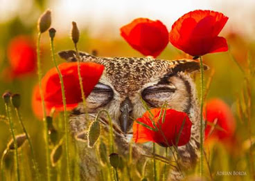 owl_poppies