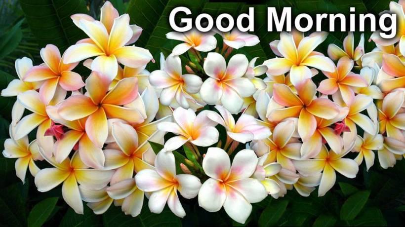 plumeria_morning