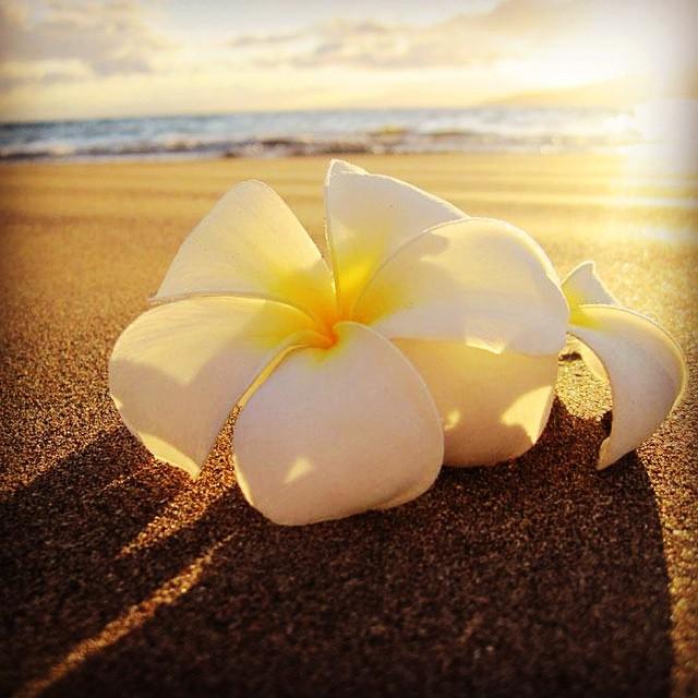 Beach Plumeria