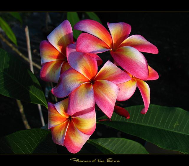 exotic-flowers_plumeria3