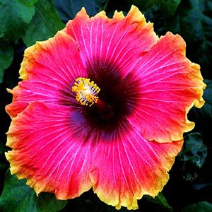 hibiscus-fancy pink
