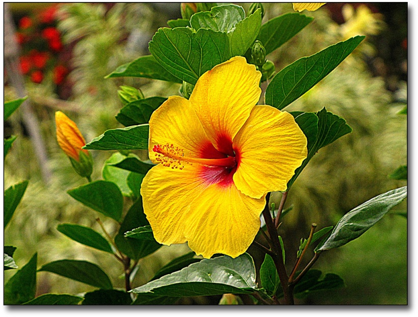 Hibiscus-Yellow2