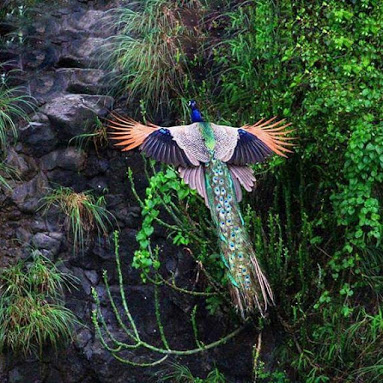 peacock_flying