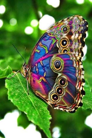 butterfly_lavendar rainbow