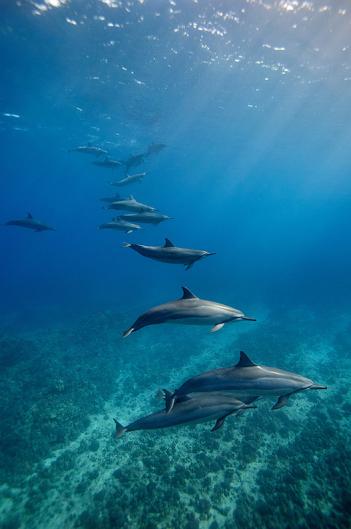 Dolphin_Ohana