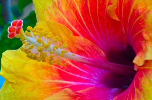 exotic_hibiscus