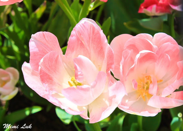 flowers_pink tulips